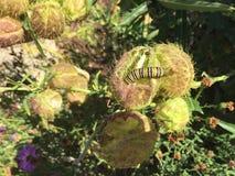 Svart och gul monark Caterpillar för vit royaltyfri bild