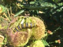 Svart och gul monark Caterpillar för vit arkivfoton