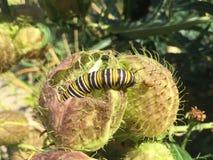 Svart och gul monark Caterpillar för vit fotografering för bildbyråer