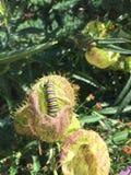Svart och gul monark Caterpillar för vit royaltyfri fotografi