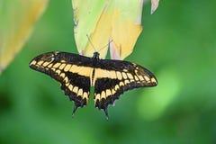 Svart och gul Swallowtail fjäril Royaltyfria Foton