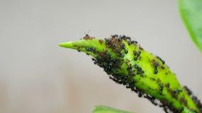 Svart och och bladlus på växtfors lager videofilmer