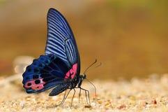 Svart och röd fjäril arkivfoton