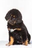 Svart och röd valp av den tibetana mastiffen Arkivbild