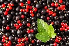 Svart och röd vinbär med ett blad mot Arkivfoton
