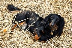 Svart och Tan Long-Haired Dachshund Laying i en säng av sugrör i trädgården Royaltyfri Fotografi