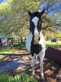 Svart och whithäst på lantgården Arkivfoto