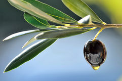 Svart oliv Royaltyfria Bilder
