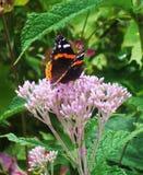 Svart orange fjäril på den trädgårds- blomman Royaltyfri Fotografi
