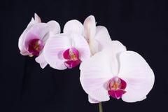 svart orchid Arkivfoto