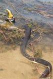 Svart orm som äter fisken Arkivbild