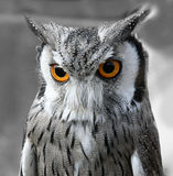 svart owlwhite Royaltyfri Bild