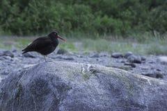 svart oystercatcher Arkivbild