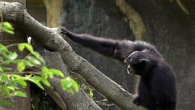 Svart-päls- gibbon för ultrarapid som kör till att klättra filialer för ett träd på zoo lager videofilmer