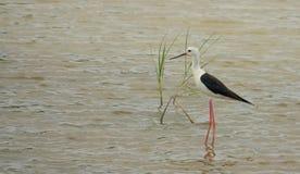 Svart-påskyndad stylta på en lagun med gräs Royaltyfria Bilder