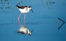 Svart-påskyndad styltafågel i en sjö nära Indore, Indien royaltyfri foto
