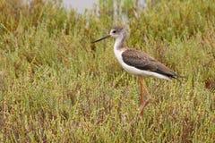 Svart-påskyndad styltafågel, tonåring Arkivbilder