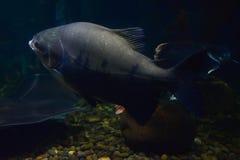 Svart pacu för fisk Royaltyfria Foton