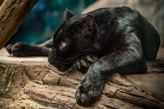 svart panter Arkivfoto