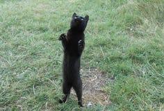 svart panter fotografering för bildbyråer