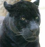 svart panter 2 Arkivbild