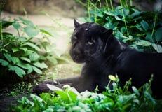 svart panter Royaltyfria Foton