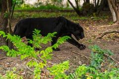 svart panter Royaltyfri Foto