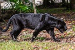 svart panter Arkivfoton