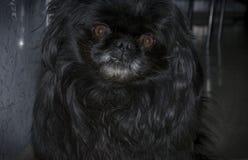 svart pekingese Royaltyfri Foto