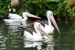 svart pelikanwhite Arkivbild