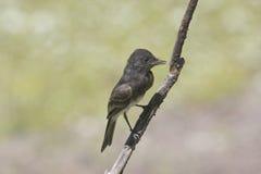 svart phoebe Fotografering för Bildbyråer