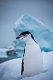 svart pingvinwhite Fotografering för Bildbyråer