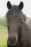 Svart ponnystående Royaltyfria Foton