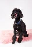 svart poodle Fotografering för Bildbyråer