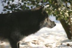 svart profilwolf Royaltyfri Foto