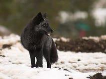 svart räv Arkivfoto