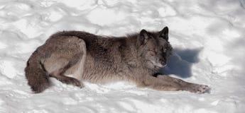 Svart räv i snön Arkivbilder