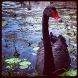 Svart röd fågel för svan arkivfoton