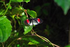 Svart & röd fjäril Arkivbild