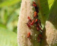 svart red för aphids royaltyfria bilder