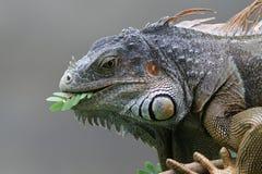 svart roatan honduras leguan Arkivbild
