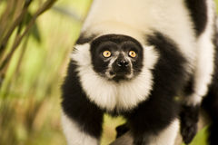 svart ruffed white för fångenskap lemur Arkivfoto