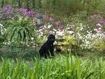 Svart ryssTerrier valp i en vårträdgård Arkivfoton