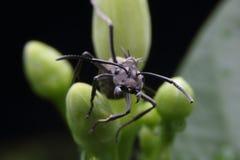 svart söka efter föda för myra Arkivbilder