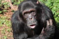 svart schimpans Arkivfoto