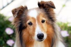 svart sheepdog shetland för stående Royaltyfria Bilder