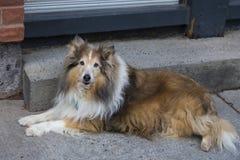 Svart Shetland för stilig blåögd mahogny som fårhund ligger på trottoaren royaltyfri bild