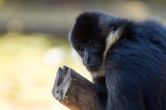 svart siamangbarn Arkivfoto