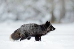 Svart silverräv, sällsynt form Svart djur i vit snö Vinterplats med det trevliga gulliga däggdjuret Royaltyfri Foto