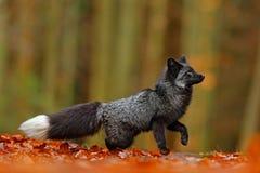 Svart silverräv, sällsynt form Mörker - den röda räven som spelar i den djura höstskogen, hoppar i nedgångträ Djurlivplats från d Royaltyfria Foton
